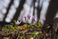 【清水山の森】カタクリの花見ごろです!アルファ7MⅢでベストショットはSEL70200Gだった!